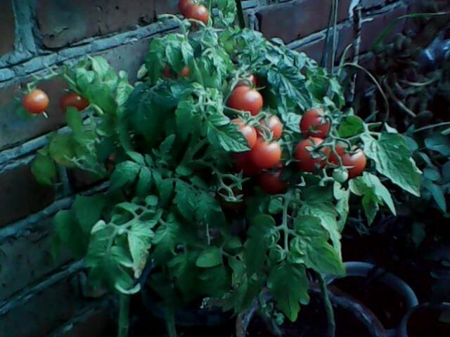 Помидоры на балконе: выращивание пошагово, как вырастить в 93