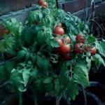 Выращивание овощей за панорамным остеклением