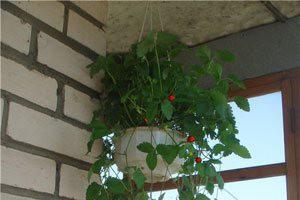 Способ выращивания ягоды на балконе