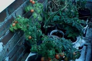 Выращивание томатов на лоджии