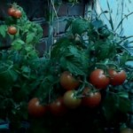 Выращивание помидоров в зимнем саду